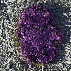 fleurs et marnes, Alpes, France