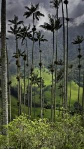Palmier à cire, arbre national de la Colombie.