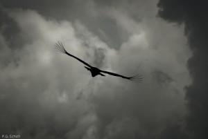 Condor de face en vol dans les nuages, Colombia