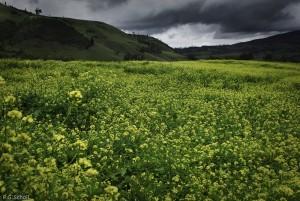 L'orage s'annonce sur un champs de Colza au nord de la Sainte Vi