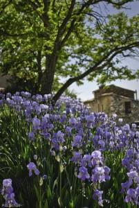 Iris bleu, Provence, France.