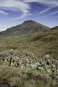 Frailejones, plantes de l'Altiplano, sur le volcan Chiles, entre l'Equateur et la Colimbie