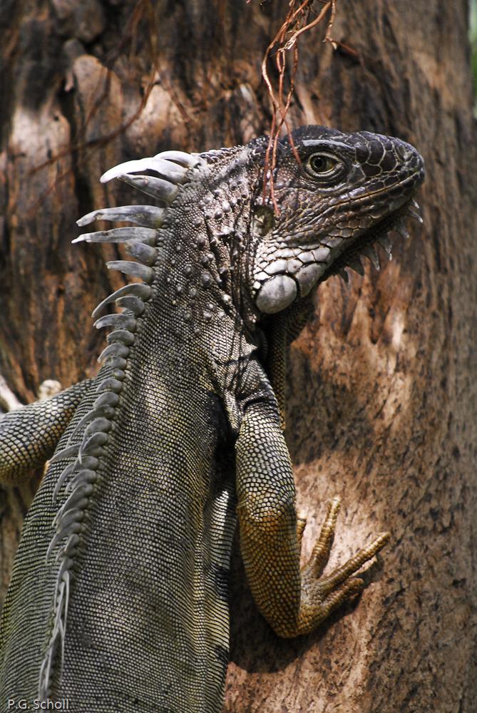 Iguane dans le parc de Monteria, Colombie