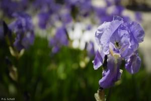 Iris, France