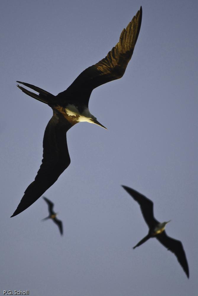 Frégates de l'île aux oiseaux, San Bernardo del Viento, Colombie
