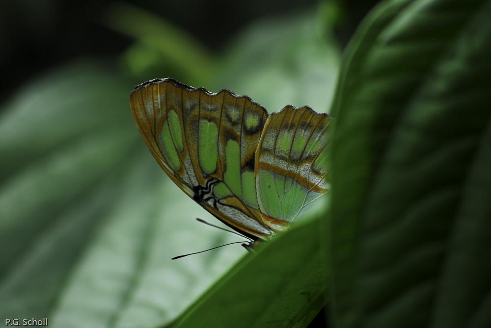 Papillon, Colombie